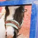 幸せをよぶジンクス☆左右の目の色が違う神秘的な瞳「オッドアイ」とは?激レア!オッドアイの馬がいた!